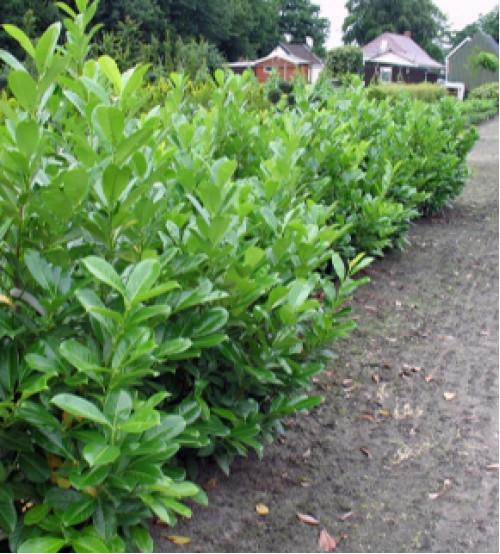 Laurier Prunus Laurocerasus Novita