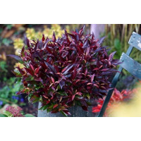 Leucothoe keiskei Burning Love