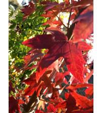 Amberboom Liquidambar stryraciflua