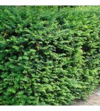 Venijnboom Taxus Baccata