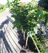 Bolesdoorn Acer Platanoides Globosum