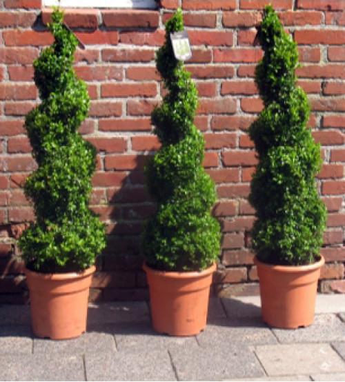 Spiraalvormige Buxus Sempervirens