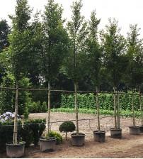 Carpinus Betulus Fastigiata hoogstam