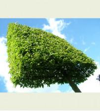 Haagbeuk Carpinus Betulus (Leiboom)