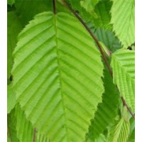 Haagbeuk - Carpinus Betulus    Actie !!!      10% KORTING