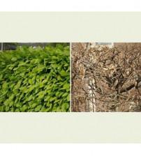 Carpinus Betulus blokvorm