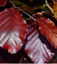 Rode, zuilvormige beuk, Fagus Sylvatica dawyck purple