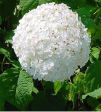 Hortensia Hydrangea  Annabel