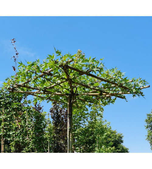 Amberboom Liquidambar styraciflum dakvorm