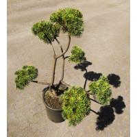 Pinus Mugo Uncinato Bonsai Boom