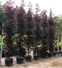 Rode Zuil Esdoorn Acer platanoides Crimson Sentry