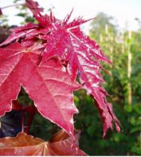 Rode Bolesdoorn, Acer Platanoides 'Crimson Sentry'