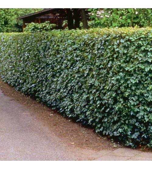 Spaanse aak (Veld-esdoorn)  Acer Campestre