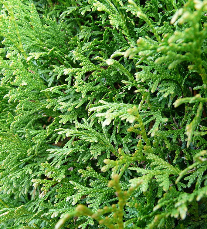 Conifeer Thuja Occidentalis Brabant